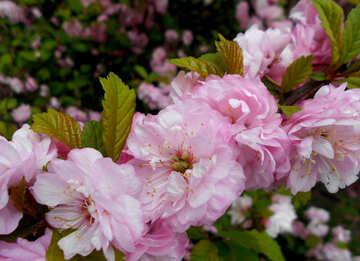 Almond Flowering branch №48577