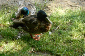Wild duck on the bank №48465