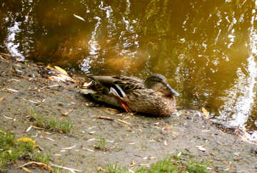Wild duck on the bank №48466