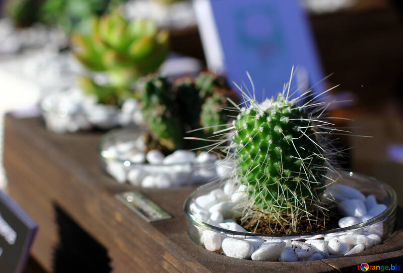 Cactus in a pot №48357