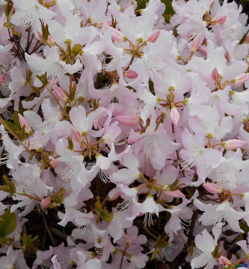 Фон белые цветы рододендрон №48566