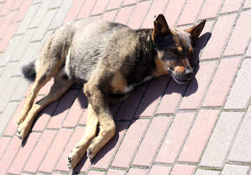 A street dog sleeps on the sidewalk №49105