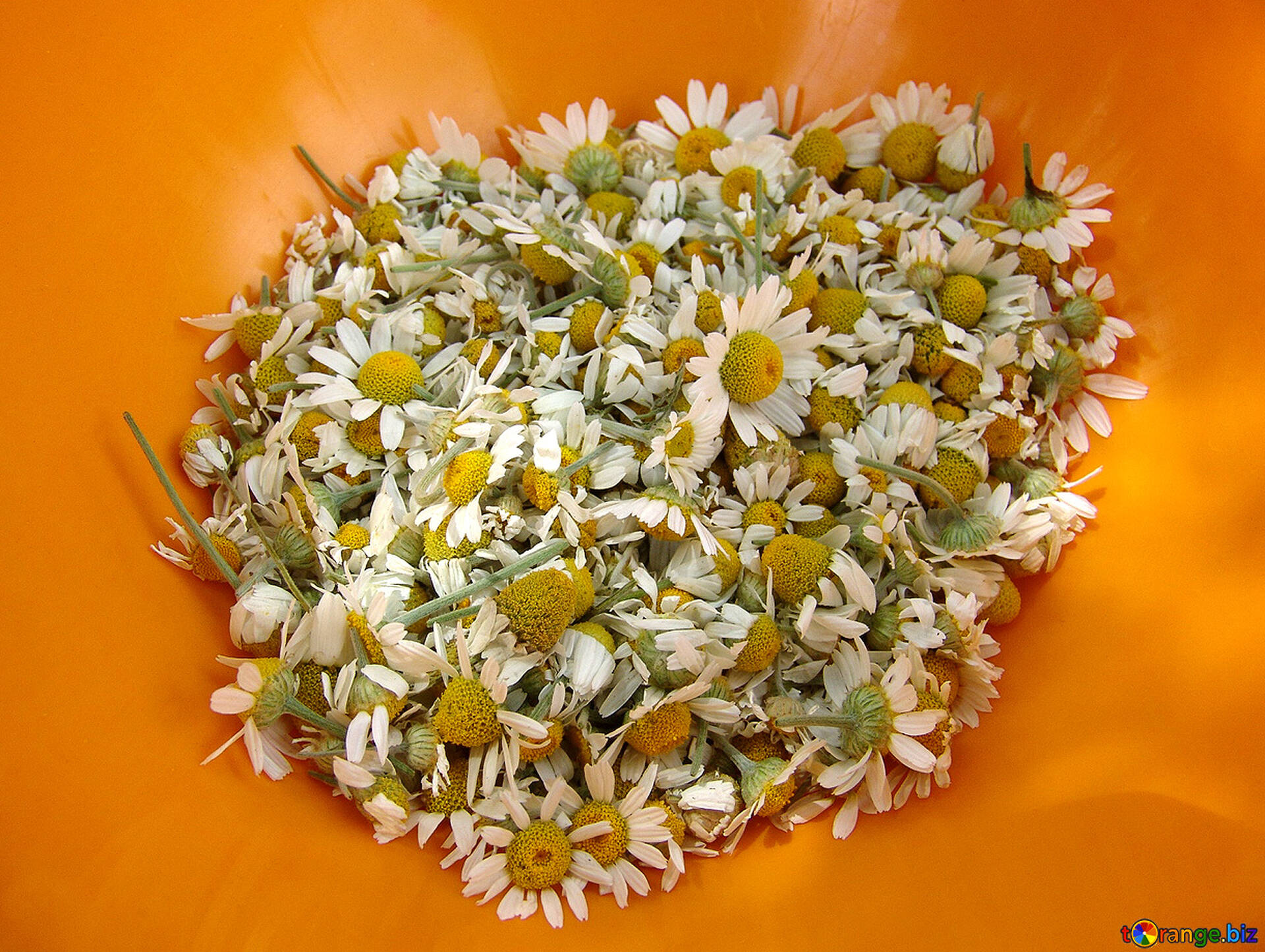 fleurs de camomille drogue de camomille fleur 5833. Black Bedroom Furniture Sets. Home Design Ideas