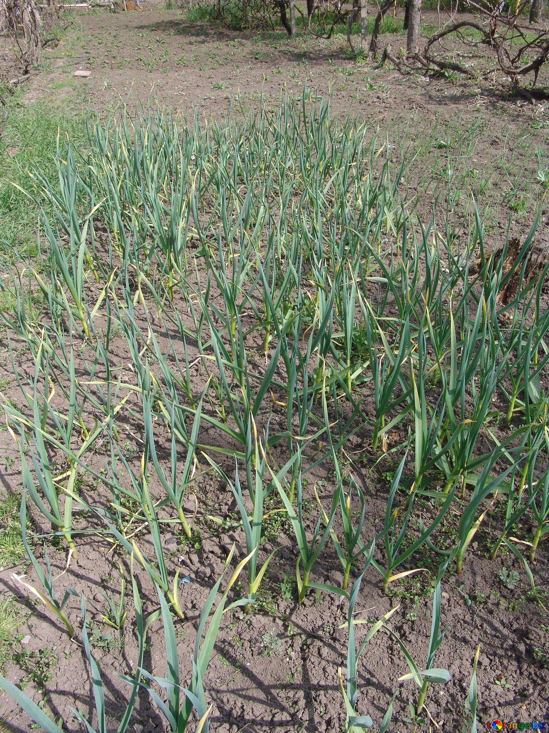 Pflanzen Im Garten Boden Grun Knoblauch Essbare Pflanze 5293