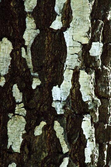 Birch  bark. №5676