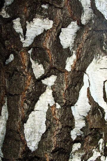 Birch Bark . . №5684