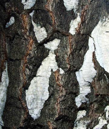 Coarse  bark  Birch. №5644