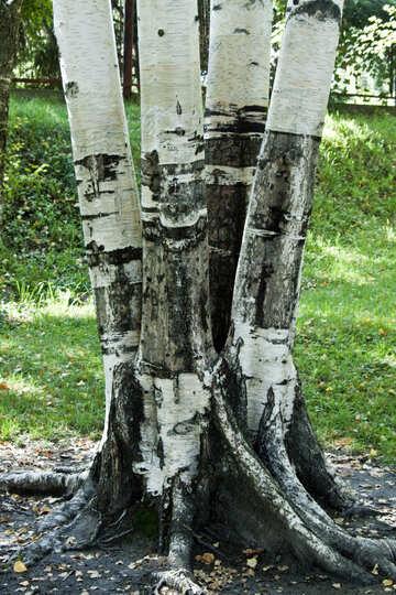 Harvesting  bark №5708