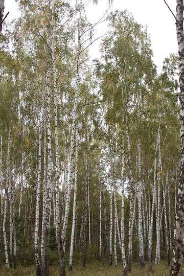 Russian birch №5542