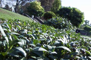 Figure  Trimmed  bushes. №5688