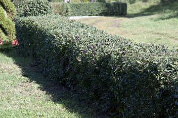 Living  hedge  arborvitae №5667