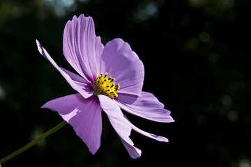 Flower  cosmos №5902