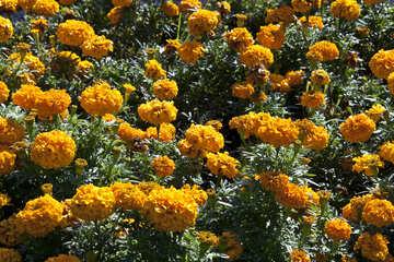 Chernobrovtsy  yellow №5647