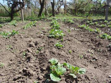 Garden Potato №5310