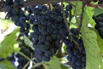 Grapes №5909