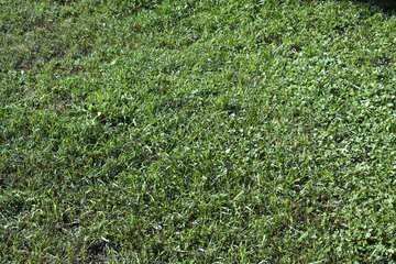 Lawn  grass №5663