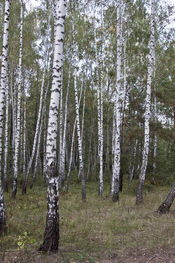 Birch Grove №5540