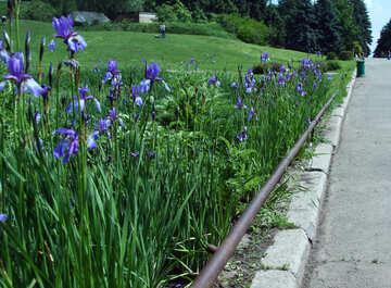 Flowers irises along the track №5034