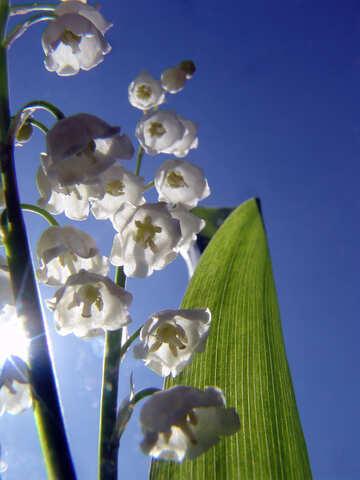 Blüht Lilien №5313