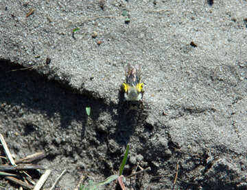 Bumblebee sitting on the ground №5159