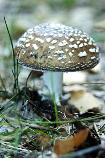 Green mushroom №5437