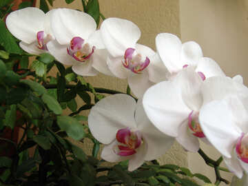 Orchid №5276