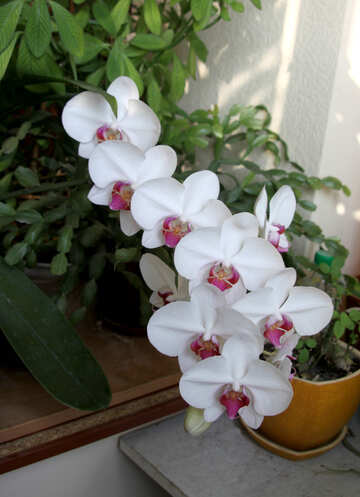 Blooming Orchid №5787