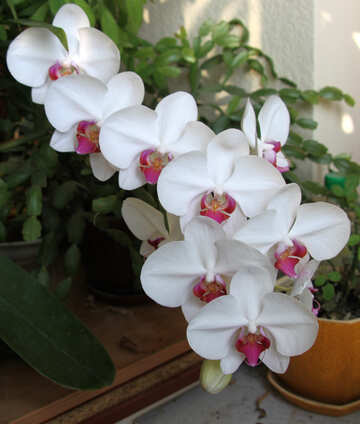 Flowered orchid №5788
