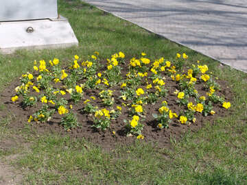 Flower bed.Yellow pansies №5279