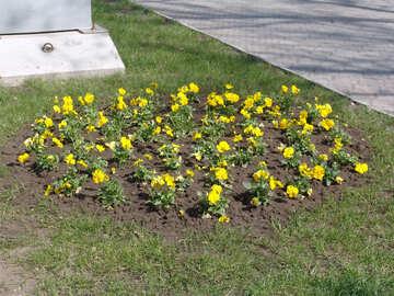 Blumenbett. Gelbe Pansies №5279