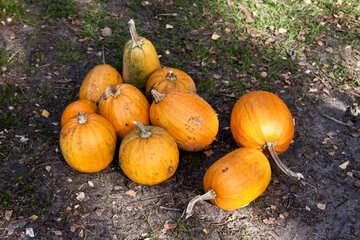 Heap  pumpkins №5898