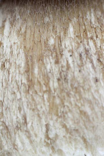 Leg  mushroom . Texture №5609