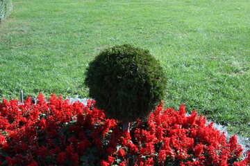 Topiary shrubs -   form  ball №5704