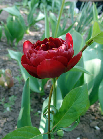 Bulbous plants tulips pionovidnye Tulip Tulipa Double Dutch №5303