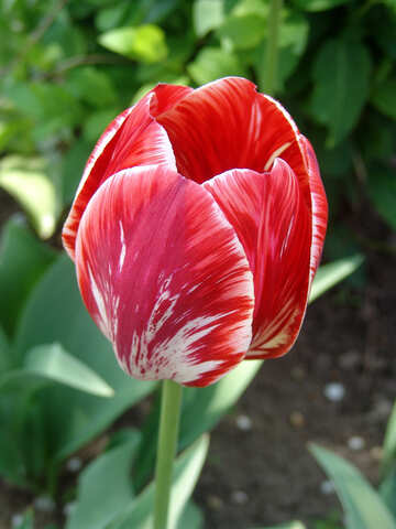 Tulpe-Farbe №5248