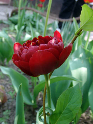 Red peonies tulip №5302