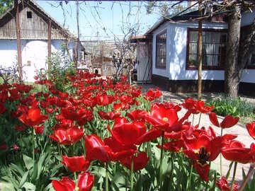 Garden flowers.Tulip. №5254