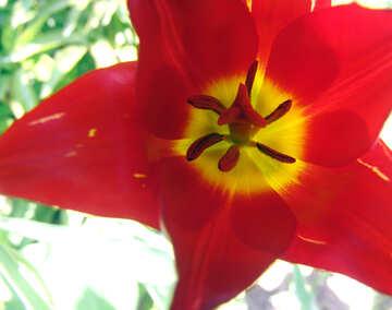 Opened Tulip №5253