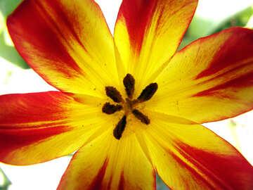 Texture.Flower tulip. №5272