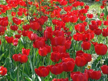 Planting tulips №5247