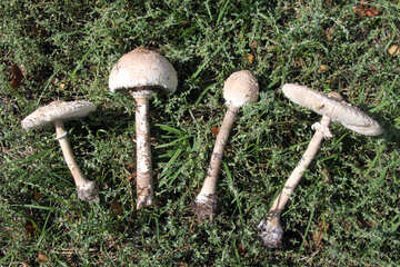 Fungi umbrellas №5535
