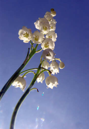 Lilien der Tal-Skyline №5316