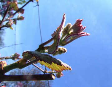 Leaflets vine №5299
