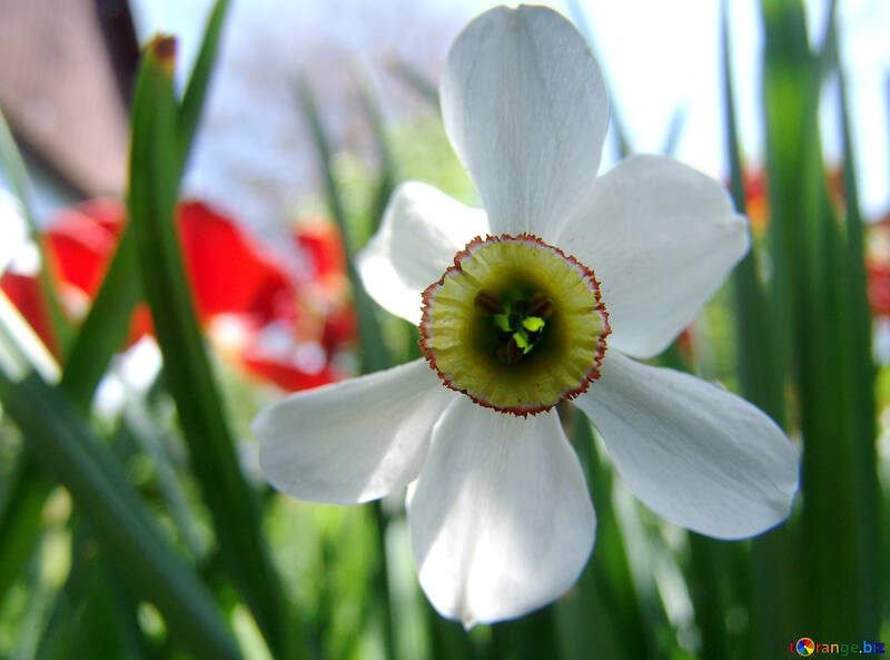 Narcissus №5268