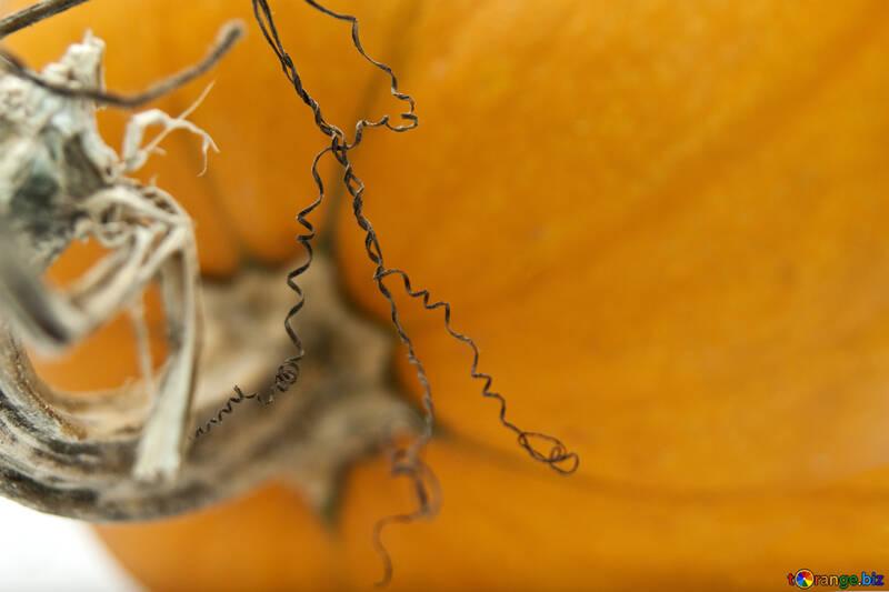 Curls  pumpkin №5983