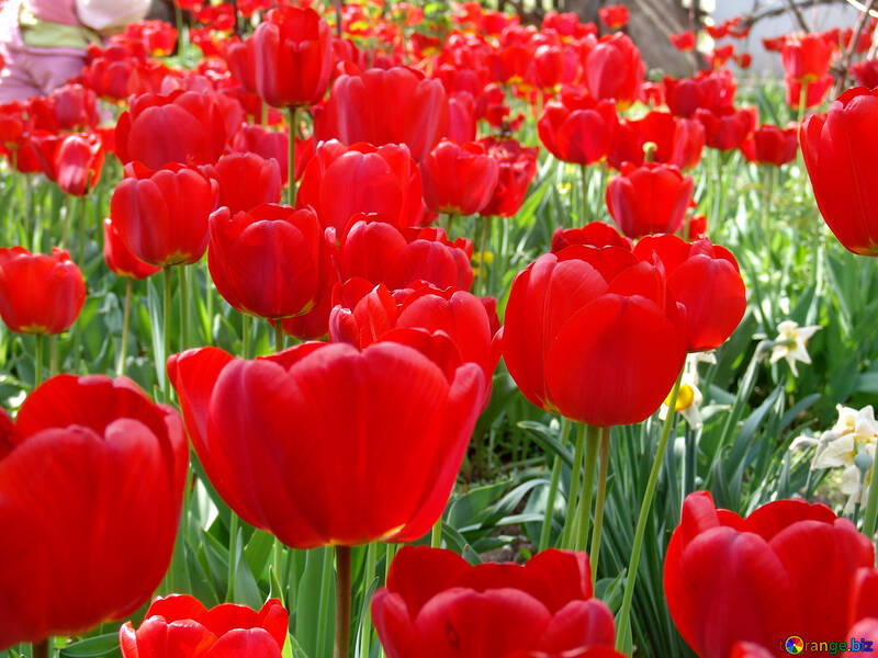 Red tulips №5300