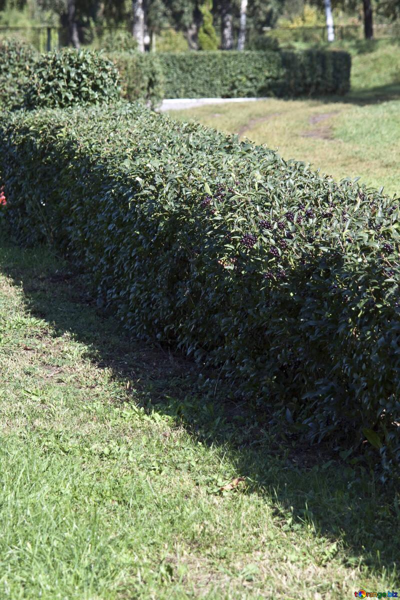 Topiary . Glatt von Form. №5673