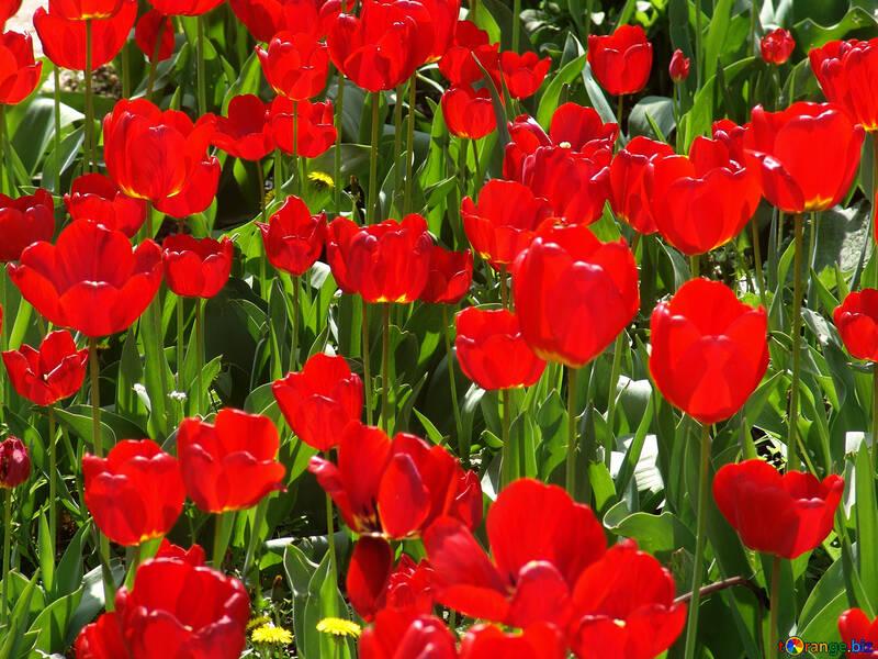 Growing tulips №5281