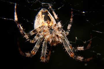 big spider №50652