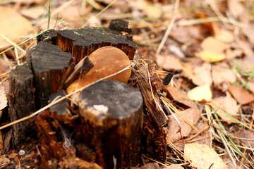 champignon stump autumn №50579